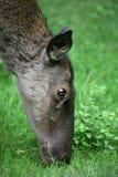 Kaspische Rode Herten stock fotografie