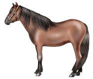 Kaspisches Pony Stockfotografie
