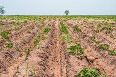 Kassava- eller kassavaväxtfält Arkivbilder