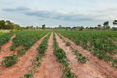 Kassava- eller kassavaväxtfält i Thailand royaltyfri bild