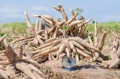 Kassava som skördas i jordbruksmark Arkivfoto