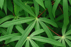 Kassavaträd Arkivfoton