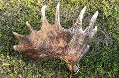 Kasserade älghorn på kronhjort på gräset royaltyfri foto