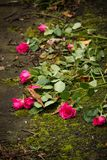 Kasserade rosor Arkivbilder