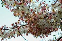 Kassie bakeriana Craib oder ` rosa Dusche-` oder einmal nennen ` weißes Duschbaum ` Stockfotos