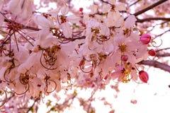 Kassieboombakeriana, de lentebloesem met de roze bloem zoals sakura Royalty-vrije Stock Foto