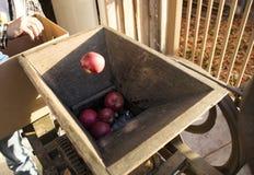 Kasta äpplen in i en äppeljuicepress Royaltyfri Foto