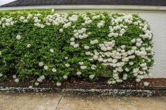 Kasta snöboll busken Royaltyfri Fotografi