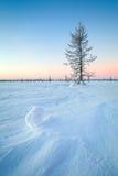 Kasta snöboll och dettäckte granträdet på bakgrunden av en sol och en skog Arkivfoton