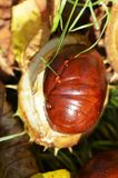 Kastanie Aesculus Hippocastanum Lizenzfreies Stockfoto