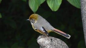 Kastanie-angebundener Minla-Vogel in Südostasien stock video