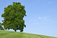 Kastanie-Baum Stockbild