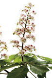 Kastanie blüht (Aesculus hippocastanum) Stockfotos