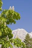 Kastanie - Blütezeit in den Dolomit stockfotografie