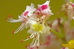 Kastanie-Blume Stockbild