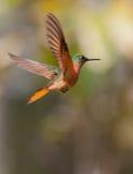 Kastanie-breasted Coronet im Flug stockbild