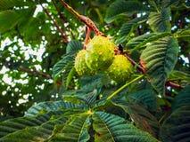 Kastanie Castanea-Sativafrucht in einer Niederlassung lizenzfreie stockfotos
