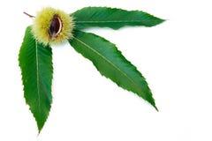 Kastanie-Frucht und Blätter lizenzfreies stockbild