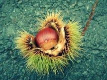 Kastanie hedhehog auf der Straße stockbild