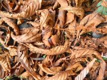 Kastanie ist in den gefallenen gelben Blättern Stockbild