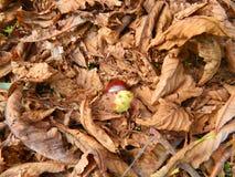Kastanie ist in den gefallenen gelben Blättern Stockfotografie