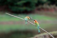 Kastanie-köpfiger Bienenfresser-Vogel Lizenzfreies Stockfoto