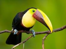 Kastanie-mandibled Toucan, von Zentralamerika. Stockbilder