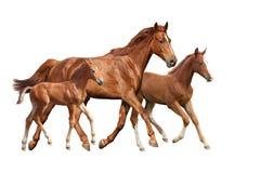 Kastanie Pferd und zwei sein Fohlenlaufen lokalisiert auf Weiß Stockfotos