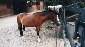 Kastanie Pony Horse mit schwarzem Zaum an Basel-Zoo Lizenzfreies Stockfoto