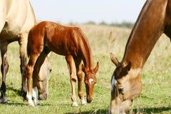 Kastanie-Stutenfohlen mit Herde Stockfotografie