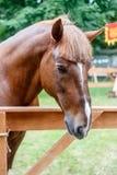 Kastanie trakehner Stallion Lizenzfreie Stockfotos