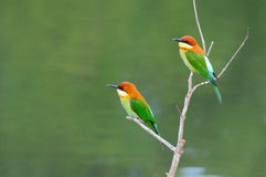 Kastanie-vorangegangene Bee-eaters Lizenzfreies Stockbild