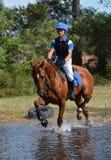 Kastanie warmblood Pferde Stockfotografie