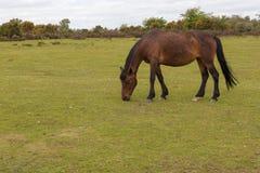 Kastanie wilder neuer Forest Pony, der auf der Heide weiden lässt Stockbilder