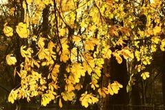 Kastaniebaum-Herbsthintergrund Stockfoto