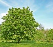 Kastaniebaum mit Blüte Stockbilder