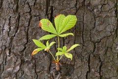 Kastaniebaum mit dem frischen Zweig Stockfotos