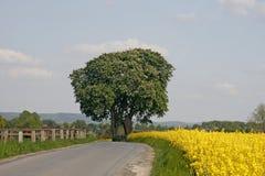 Kastaniebaum mit Rapsfeld im Frühjahr Stockbild