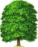 Kastaniebaum. Vektor