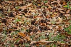 Kastanien auf Gras unter Kastanienbäume Stockbilder