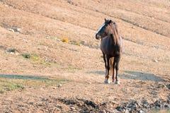 Kastanien-Bucht-wildes Pferdemustang-Hengst an der Wasserstelle in der Pryor-Gebirgswildes Pferdestrecke in Montana USA Stockbilder