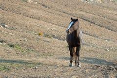 Kastanien-Bucht-wildes Pferdemustang-Hengst an der Wasserstelle in der Pryor-Gebirgswildes Pferdestrecke in Montana USA Stockbild