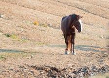 Kastanien-Bucht-wildes Pferdemustang-Hengst an der Wasserstelle in der Pryor-Gebirgswildes Pferdestrecke in Montana USA Lizenzfreie Stockbilder