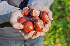 Kastanien in den Händen von Stockfotos