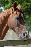 Kastanien-Pferd, das einen Koppel-Zaun beißt stockfoto