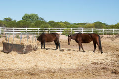 Kastanien-Pferde im australischen Ackerland Stockfoto