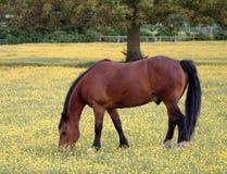 Kastanien-Pony Lizenzfreies Stockfoto