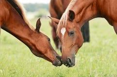 Kastanien-Stute mit ihrem Fohlen Stockfotos