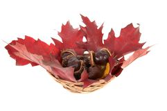 Kastanien und Eichenblätter in einem Korb. Lizenzfreies Stockbild