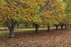 Kastanienbäume im Herbst in hellem Australien Stockfotos
